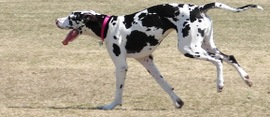The-beautiful-great-dane-great-danes-14115104-1200-900